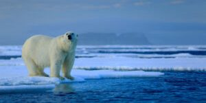Keywords:  bear;polar;glacial;fight;cold;snowy;maritimus;svalbard;aggressive;mammal;white;paw;north;ursus;drift;fur;carnivore;walk;ice;hunter;cute;northern;duel;dangerous;winter;habitat;blue;predator;outdoors;marine;endangered;arctic;sky;pole;sea;danger;water;snow;wild;nature;frozen;big;animal;vulnerable;wildlife